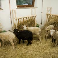 Owce w zagrodzie