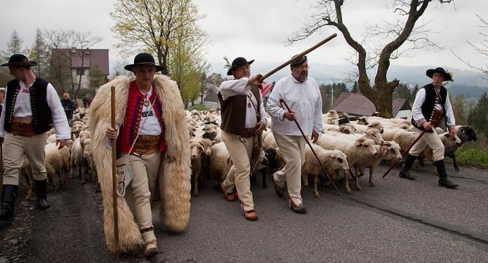 Miyszanie owiec zdjęcie 5