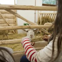 Gazdówka - owce, koza, krowy