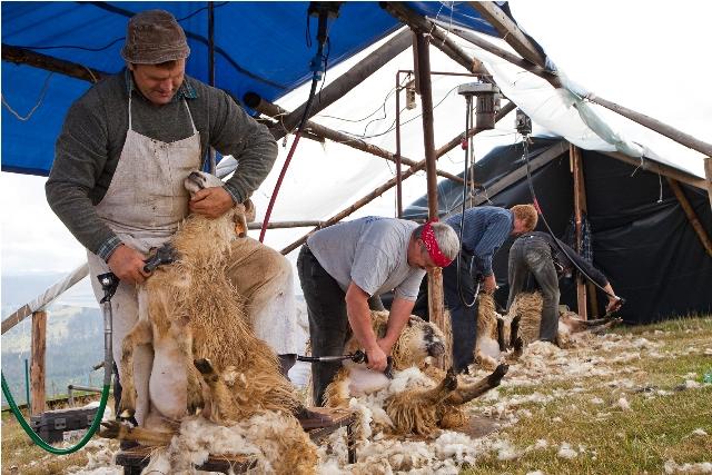 strzygani owiec zdjęcie1