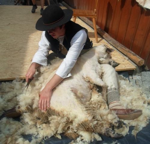 strzygani owiec zdjęcie2m
